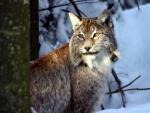 Biela divocina: po stopach vlkov a rysov v tatrach