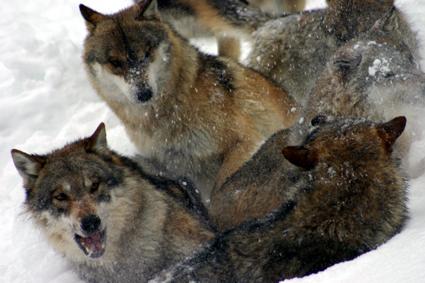 Biela divocina v Tatrach, po stopach vlkov a rysov